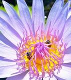 Härligt pollen av purpurfärgad lotusblomma Arkivfoto