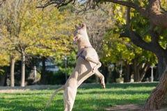 Härligt posera av en amerikanska Staffordshire terrierbanhoppning Arkivbilder