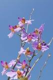 Härligt purpurfärgat orkidéblommaslut upp Arkivbild
