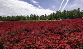 Härligt rött blommafält med det höga trädet i bakgrund med molnet och blå himmel fotografering för bildbyråer