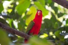 Härligt rött papegojafågelslut upp royaltyfri fotografi