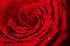 Härligt rött rosa slut upp Arkivbilder