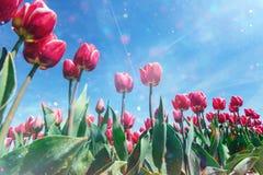Härligt rött tulpanfält i Nederländerna royaltyfri foto