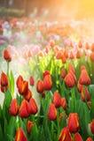 Härligt rött tulpanfält med solljus i vårtid Arkivbild