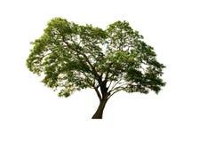 Härligt regnträd eller valnötträd för östlig indier som isoleras på vit bakgrund med den snabba banan royaltyfri fotografi