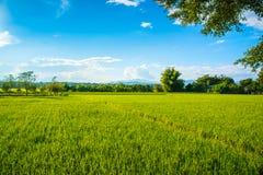 Härligt risfältlandskap med blå himmel royaltyfri bild
