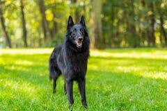 Härligt roligt vänta för Groenendael hundvalp Svart belgisk herde Groenendael Autumn Portrait royaltyfri fotografi