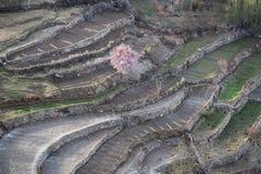 Härligt rosa aprikosblomningträd i vårsäsong på Hunza va arkivbilder