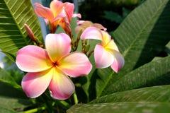 Härligt rosa frangipaniplumeriaträd i en trädgård royaltyfria foton