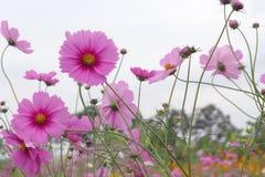 Härligt rosa kosmos blommar att blomma i trädgården royaltyfri bild