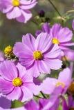 Härligt rosa kosmos blommar utomhus- Arkivbilder