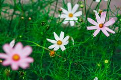 Härligt rosa och vitt växa för kosmosblommor i trädgården Arkivfoton