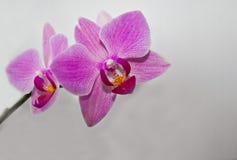Härligt rosa orkidéslut upp, ljus rosa blomma arkivfoton