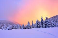 Härligt rosa solnedgångsken klargör de pittoreska landskapen med ganska träd som täckas med snö Arkivbilder