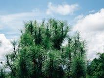 Härligt sörja träd på höga berg för bakgrund fotografering för bildbyråer