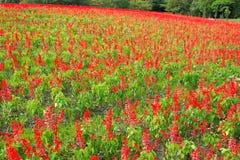 Härligt Salvia fält Arkivbild