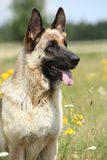 Härligt sammanträde för hund för tysk herde i blomningfält Royaltyfria Bilder