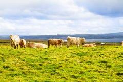Härligt sceniskt landskap med kor Kor som betar på ett grönt fält Arkivbilder