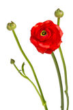 Röd blomma för härlig singel Fotografering för Bildbyråer