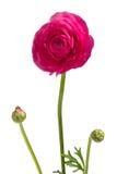 Röd blomma för härlig singel Royaltyfria Bilder