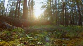 Härligt skogskott arkivfilmer