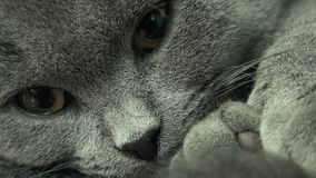 Härligt skotskt veck Grey Cat Closeup 4K UltraHD, UHD stock video