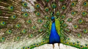 Härligt skott av påfågeln med fullständigt spridningvingen på skärm Arkivbild