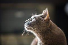 Härligt slut för blå katt för ryss upp royaltyfria foton