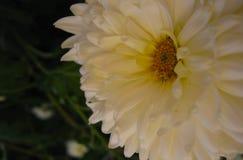 Härligt slut för krysantemum för vit blomma för höst upp arkivfoto