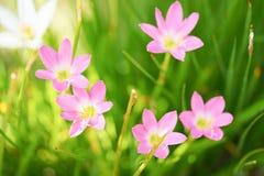 Härligt slut för rosa färgregnlilja upp på oskarpa gröna sidor arkivfoton