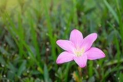 Härligt slut för rosa färgregnlilja upp på oskarpa gröna sidor arkivbild