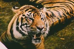 Härligt slut upp av en bengal tiger som lägger i en pöl av vatten trevligt ståendefoto av den fantastiska tigern arkivfoton