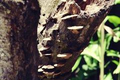 Härligt slut upp av skogchampinjoner på trädskället i skogbruntchampinjonen på den gamla träjournalen royaltyfri foto