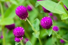 Härligt slut upp blommanaturen för purpurfärgad amaranth Arkivfoton