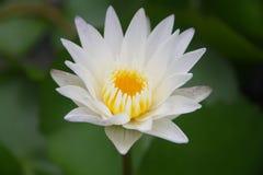 Härligt slut upp lotusblommablomman i vattnet Royaltyfri Fotografi