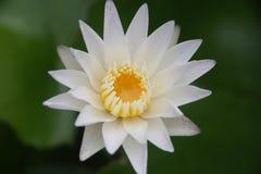 Härligt slut upp lotusblommablomman i vattnet Arkivfoto