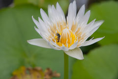 Härligt slut upp lotusblommablomman i vattnet Fotografering för Bildbyråer