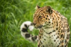Härligt slut upp ståenden av den Jaguar pantheraoncaen i färgrikt Royaltyfri Bild