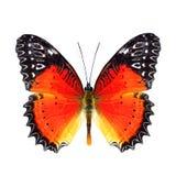 Härligt smör, röd Lacewing över vingar i naturlig färgprofi Royaltyfri Bild