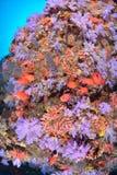 Härligt softcoral och Soldierfishes royaltyfri foto