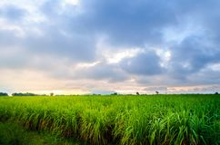 Härligt solljus för sockerrörlantgård Arkivbilder