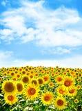 Härligt solrosfält i sommar Arkivfoto