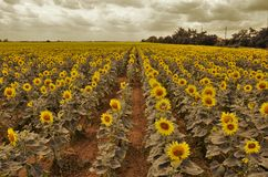 Härligt solrosfält i sommar Royaltyfri Foto