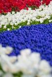 Härligt som stängs upp skottet av nya färgrika tulpan Royaltyfria Bilder