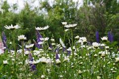 Härligt sommarlandskap med blomningängen Tusensköna- och lupinblommor arkivbild
