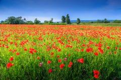 Härligt sommarlandskap med den sparade röda vallmo royaltyfria foton