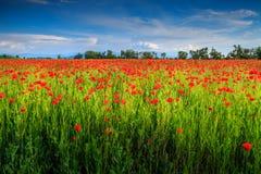 Härligt sommarlandskap med det röda vallmofältet arkivbilder