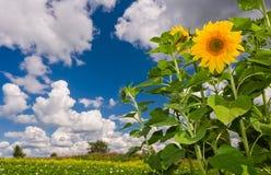 Härligt sommarlandskap med solrosor Arkivfoto