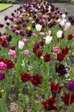 Härligt sortiment av tulpan som växer i en trädgård Arkivbilder