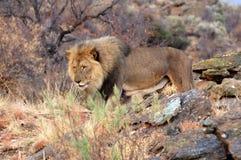 Härligt stort manligt lejon i savannahen av Namibia Fotografering för Bildbyråer